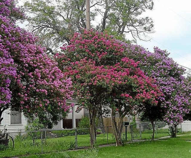 Crepe Myrtles carefully chosen provide natural beauty