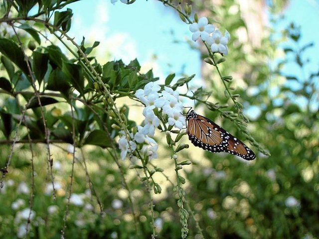 White Duranta and Queen Butterfly