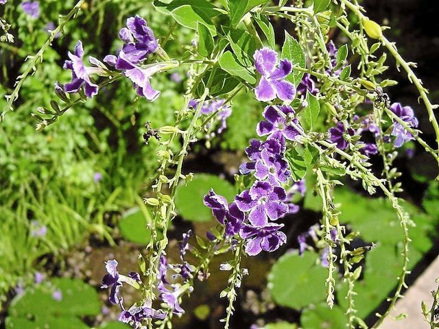 Duranta with purple blossoms