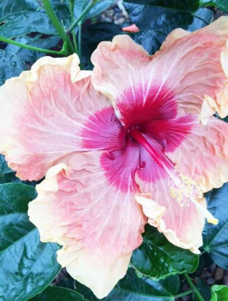 Enormous bloom of 'Fifth Dimension'