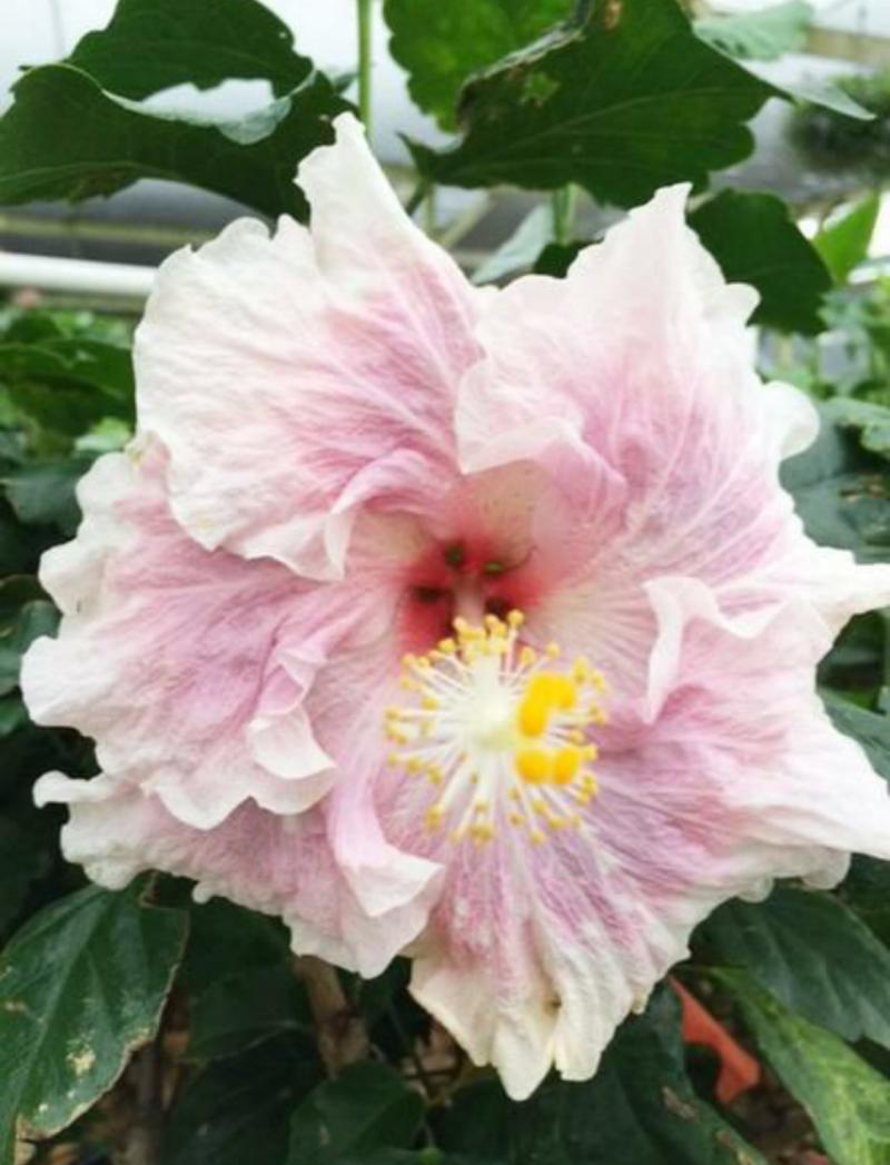 Exotic bloom of Hibiscus 'Baby Girl'