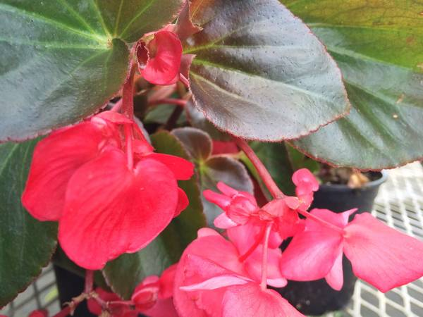 Begonia with red blooms and bronze leaves