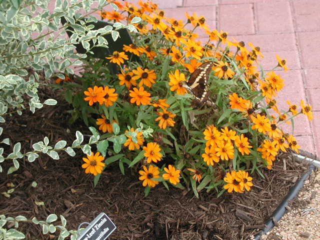 Profusion Zinnia at Victoria Educational Gardens