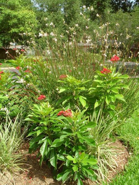Whirling Butterfly Plant -- Gaura