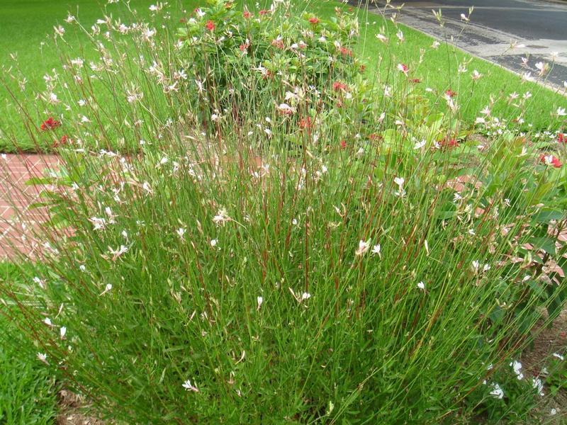 Gaura is a clump-forming perennial