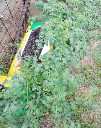 Plant tomatoes in soil bags