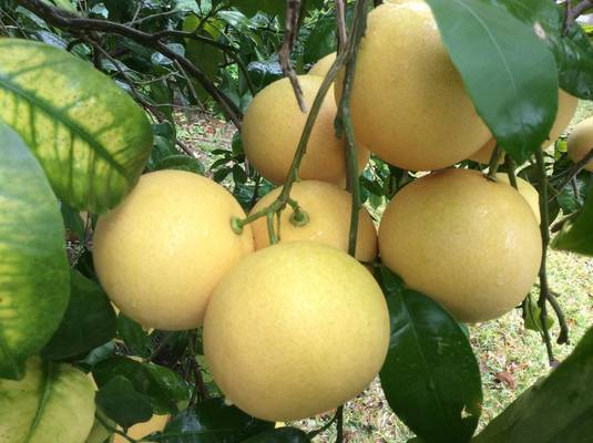 Grapefruit in clusters