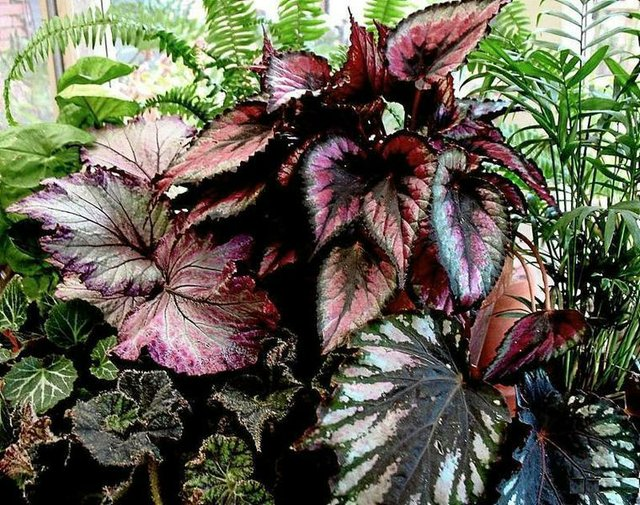 Mix of Rex Begonias