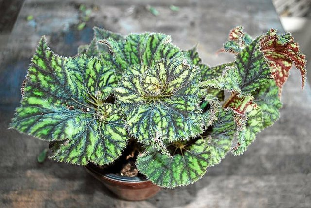 Variegated Green Leaf Rex with Deep Rust