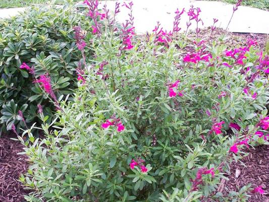 Salvia greggii photo by Suzann Herricks