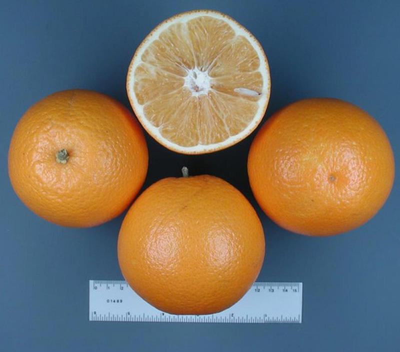 Maars Orange discovered in Donna, Texas