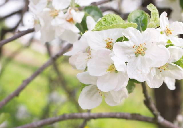 Plum tree blossoms SHUTTERSTOCK