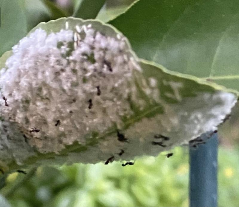 Crazy Ants farming Mealy Bugs on Meyer Lemon