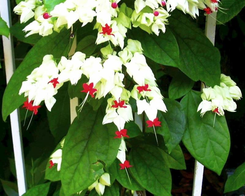 Bleeding Heart (Clerodendrum thomsoniae)
