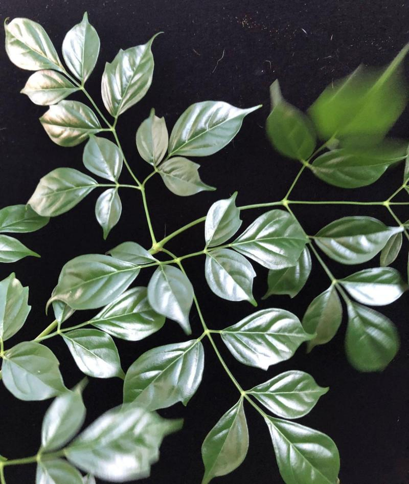 China Doll Plant Dainty Leaf