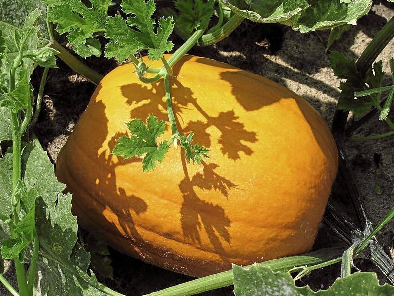 Pumpkins grown and harvested at Devereux