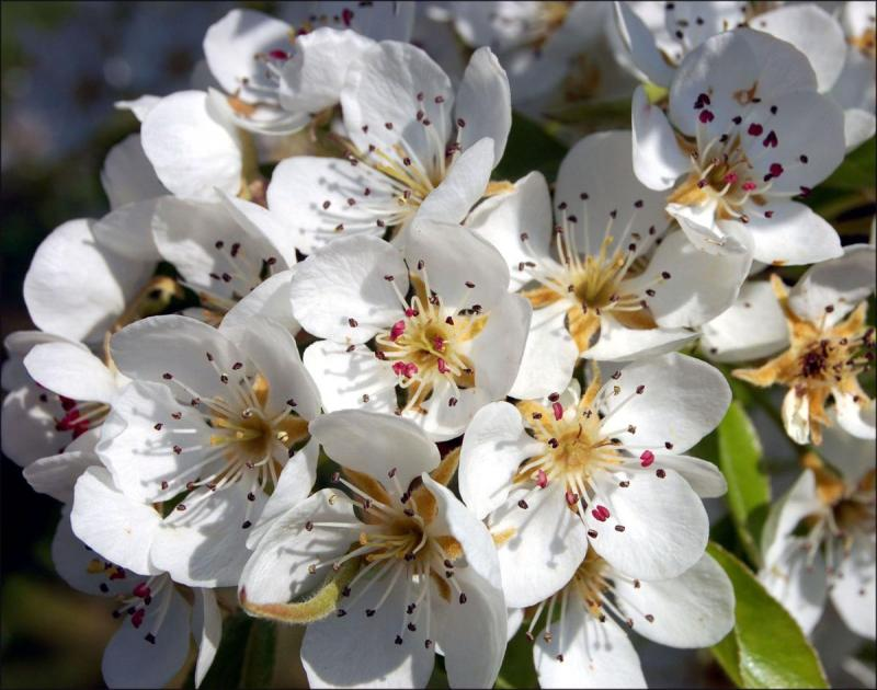 Pear Blossom from Shutterstock