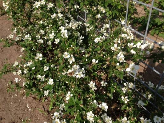 Blooming Brazos variety of blackberries plants