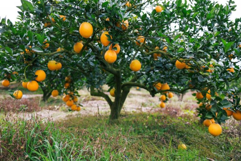 Orange Tree Pruning and Shape