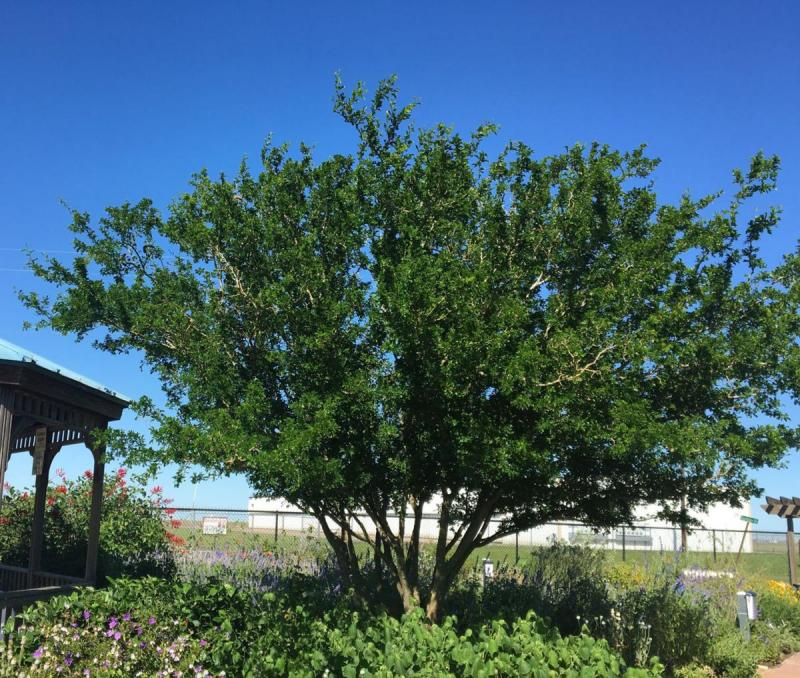 Texas Ebony Tree in Xeriscape Area of VEG