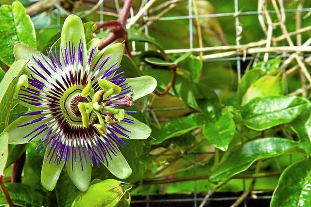 Mostly Green Passion Flower