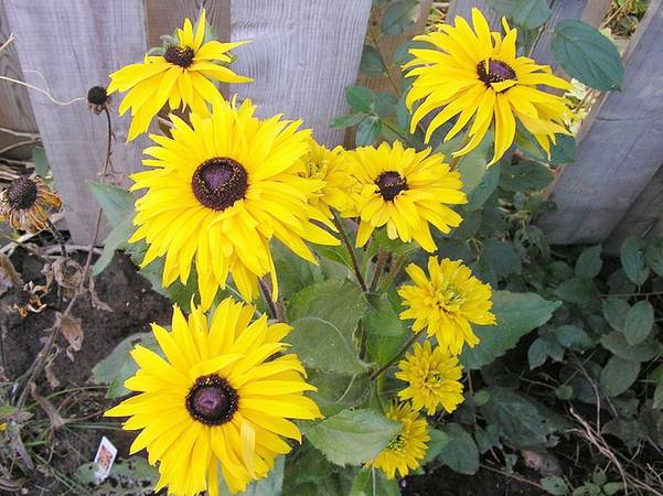 Blackeyed Susan
