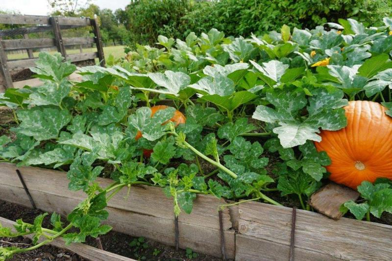 A warm season crop, pumpkins tolerate warm to hot temps