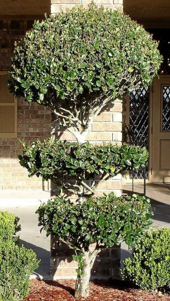 Pruned and Shaped Ligustrum for Hedge