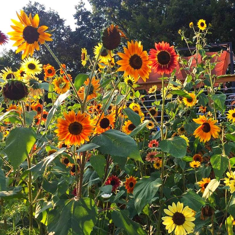 Autumn Beauty Sunflower Seed Pack Blooms