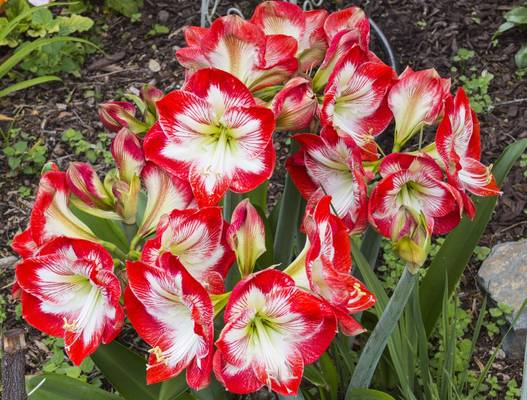 Amaryllis Minerva produces multiple blooms