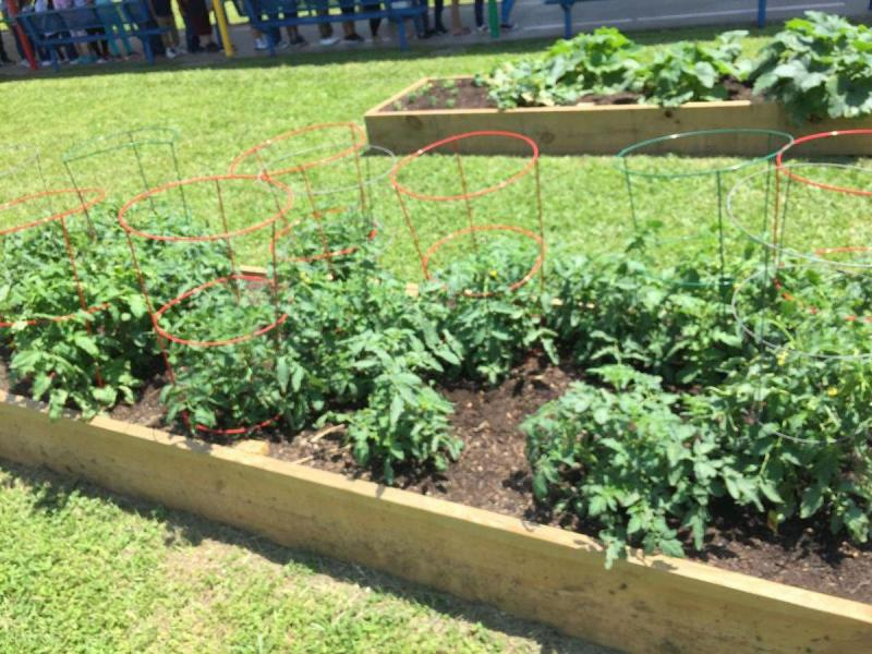 Tomato Plants growing in raised beds at F. W. Gross Elementary