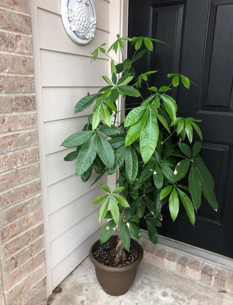 Young potted Money Tree Plant