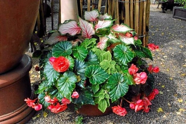 Caladiums with Red Begonias