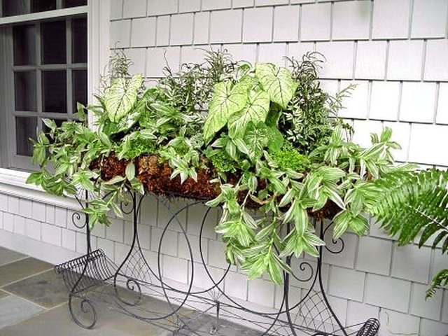 Green and White Variety Caladiums