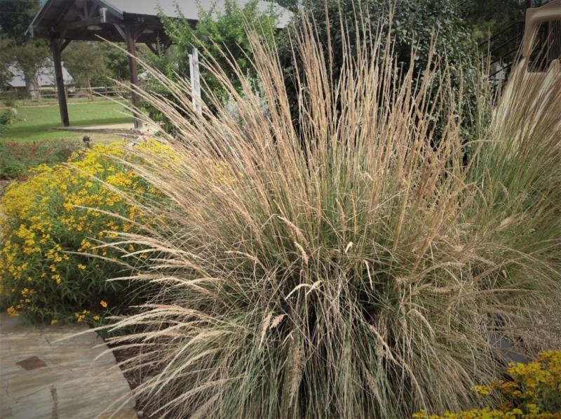 Lindheimer's Muhly Grass