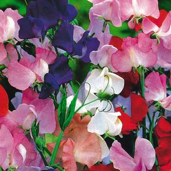 Royal Family Sweetpeas