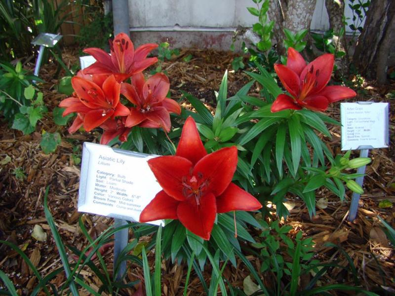 Asiatic Lily Growing in Victoria Educational Gardens