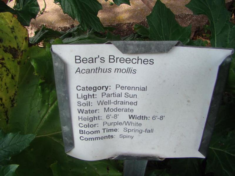 Bear's Breeches Plant Tag