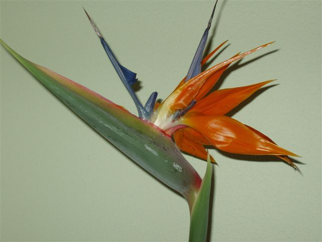 Bird of Paradise Up Close